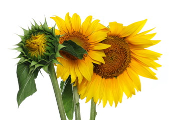Sunflowers isolated on white background, clipping path
