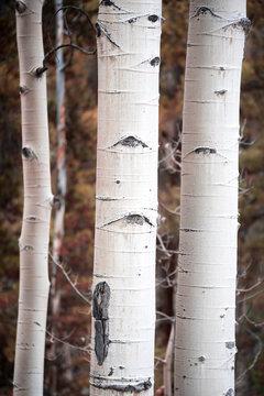 Colorado Aspens Vertical Format