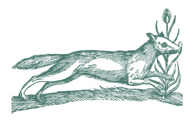 A running arctic fox (vulpes lagopus). Illustration after a historic woodcut engraving from the 17th century