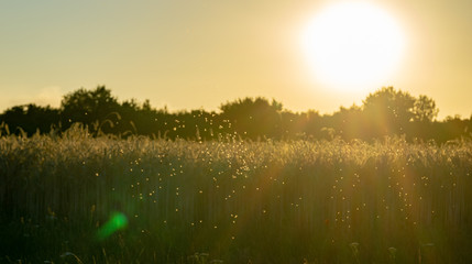 swarm of mosquitos at a corn field - backlight during evening hours