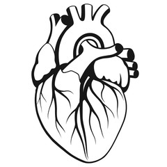 Human heart on white background