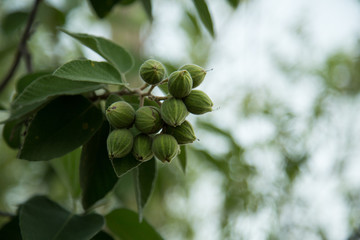 Mexican olive tree drupes