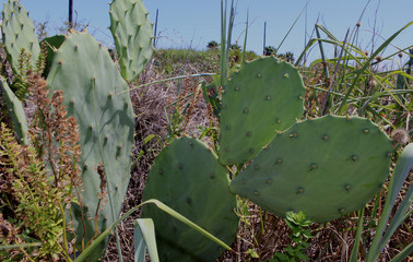 Coastal Prickly Pear Cactus