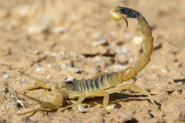 Deathstalker scorpion, or Israeli yellow scorpion (Leiurus quinquestriatus) in defensive posture, Negev Desert, Israel.
