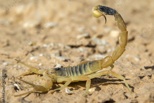 Deathstalker scorpion, or Israeli yellow scorpion (Leiurus