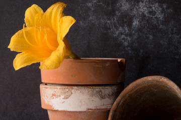 Yellow Daylily in Clay Pots