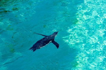The little gumboldt penguin floats alone in blue water on a sunny bright day. Penguin.