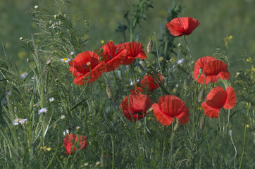 Czerwono pośród traw