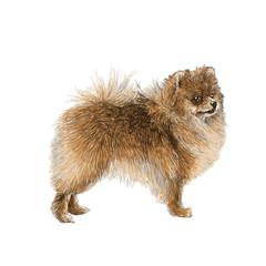 Pomeranian hand drawn
