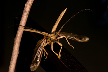Male brown Deep mountain oak wood borer longhorn beetle (Cerambycidae: Massicus scapulatus) hardened forewings raised, hindwings unfolding, ready to fly with dark background creating X Shape and mark