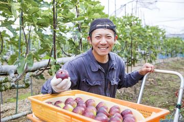 イチジクの収穫をする若い男性