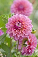 Fond de hotte en verre imprimé Dahlia Pink dahlia flower