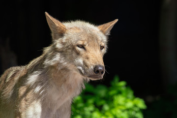 Portrait of a wolf in the park