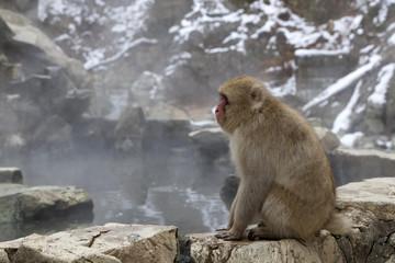 Snow monkey (Japanese Macaque) sitting alongside a hot spring, Nakano, Japan