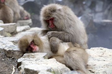 Snow monkeys (Japanese Macaque) grooming one another while sitting alongside a hot spring, Nakano, Japan