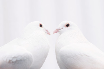 Two white loving birds pigeons - love couple concept