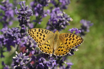 Summer. Butterfly on the flowers of lavender