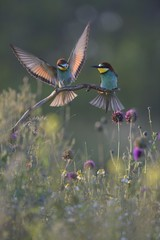 European bee-eaters (Merops apiaster), breeding pair, male approaching perch in flower meadow, Kiskunsag National Park, Hungary, Europe