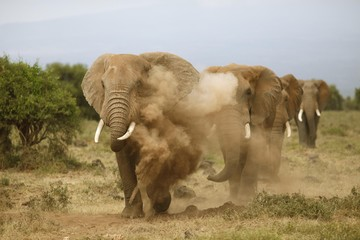 African elephants are taking a sand bath