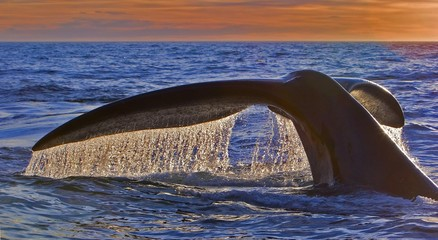 Fluke, Southern right whale (Eubalaena australis), descending in front of sunset, Valdes Peninsula, Argentina, South America