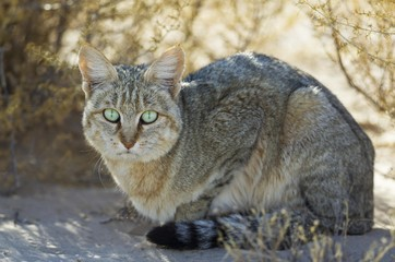 African Wild Cat (Felis silvestris lybica), Kalahari Desert, Kgalagadi Transfrontier Park, South Africa, Africa