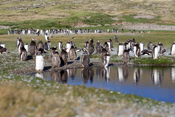 Gentoo Penguin Colony on New Island (Falkland Island) alongside a pond with some undergoing a catastrophic molt