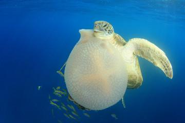 Green Sea Turtle eats giant Mosaic Jellyfish