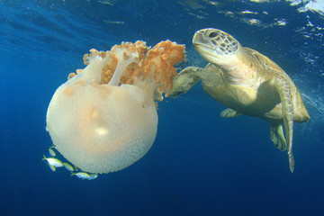 Green Sea Turtle eats giant Mosaic Jellyfish