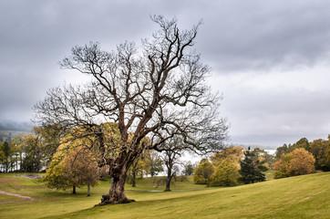 Dry tree, park. Scottish landscape. Scotland, Great Britain