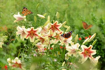 Schmetterling 518