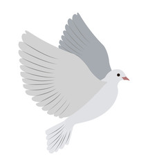 Gorgeous White Dove Flies and Spreads Large Wings