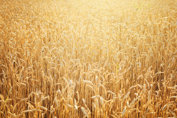 Wheat field. Rural Scenery under Shining Sunlight. A background of the ripening wheat. Rich harvest.