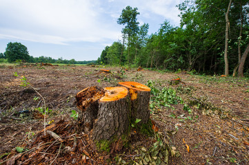 Stumps of cropped alder trees and trunks stocked in a meadow. Deforestation, destruction of deciduous forests.