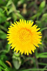 Bright dandellion flowers
