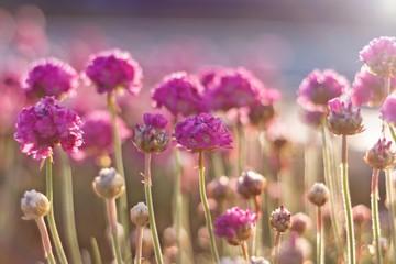 Fototapeta różowe kwiaty w świetle delikatnych promieni słonecznych obraz