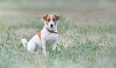 Portrait from distance of cute small white and red dog jack russel terrier sitting on grassland and looking forward at summer sunny day
