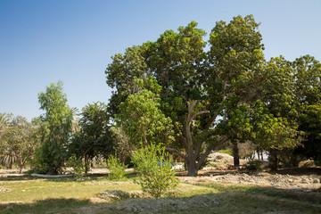 Mango Tree, Sistan and Baluchistan, Iran