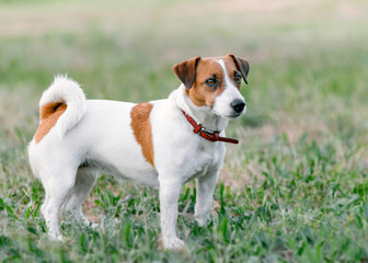 Close-up full-length portrait of adorable small white and brown dog jack russel terrier standing on glade and looking at right side