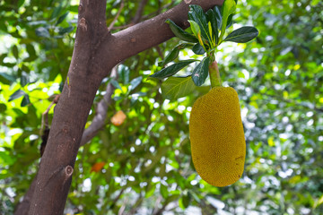 Jackfruit on the tree in the orchard.