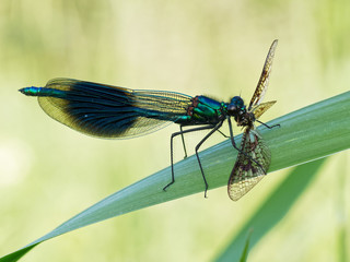 Banded Demoiselle Eating Mayfly
