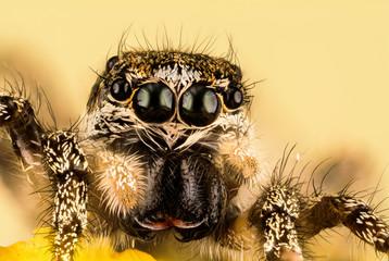 Foto op Canvas Hand getrokken schets van dieren Jumping Spider, Zebra Back Spider, Spider, Salticus scenicus, Salticidae