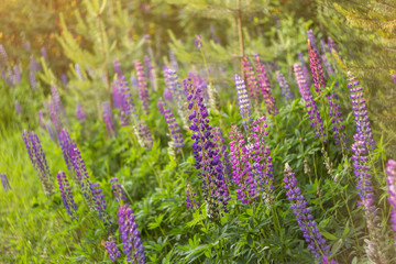 Blooming lupine summer flowers. A field meadow of lupines
