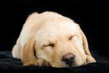 Schlafender Labradorwelpe auf schwarzem Grund