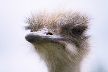 funny ostrich head close-up on a summer farm