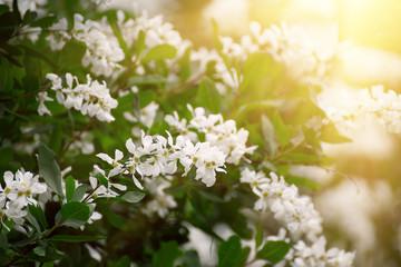 Poster de jardin Muguet de mai White flowers blossoming in spring time, natural vintage background