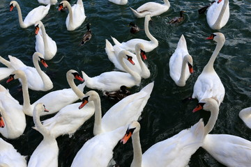белые лебеди живут на озере