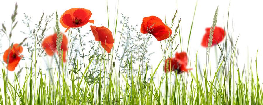mohnblumenwiese vor weißem hintergrund