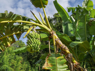 Wild banana tree crown in the tropics with one bunch of bananas hanging down, beautiful tropical background with banana tree