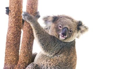 koala bear on a white background