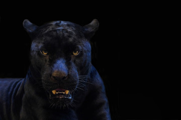 black panther shot close up with black background Wall mural